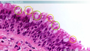 Epithelial tissue example