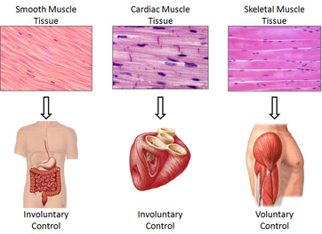 what is human body tissue? - definition, types & examples - video, Muscles