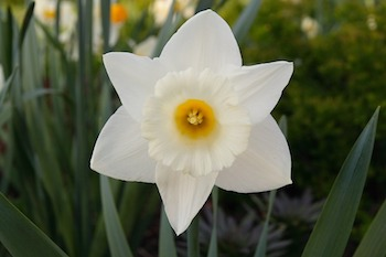 the story of echo narcissus lesson for kids com this pretty flower is called a narcissus