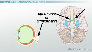 Optic Nerve Brain Location