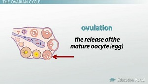 Ovulation Release Mature Oocyte