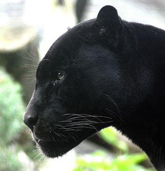 Panther Facts: Lesson for Kids | Study.com