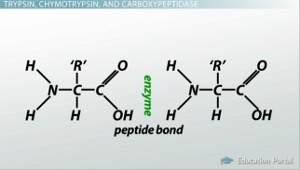 Peptide Bond Breakage
