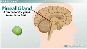 pineal gland, functions, melatonin & circadian rhythm - video, Human Body