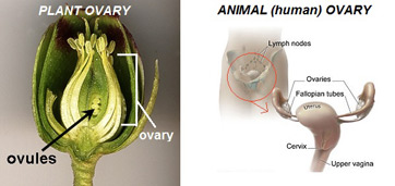 Plant and Animal Ovaries
