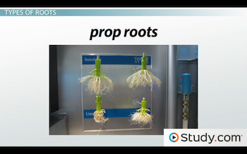 Image of prop roots