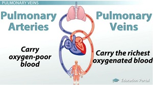 Pulmonary Arteries Veins