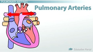 Pulmonary Arteries
