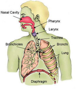 Diagram of Respiratory System