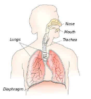 diaphragm muscle: definition, anatomy & function | study, Sphenoid