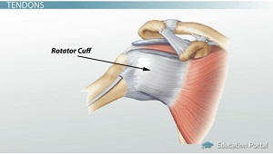 Shoulder Tendon Diagram