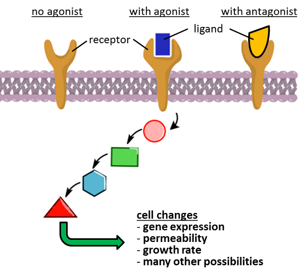 Agonist activate receptors and initiate signaling cascades