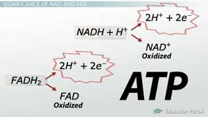 Significance of NAD and FAD