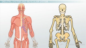 skeletal system and muscular system - video & lesson transcript, Muscles
