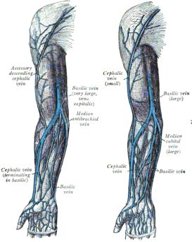 median cubital & antebrachial veins: locations & functions | study, Cephalic Vein