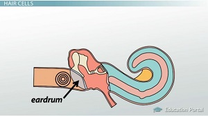Sound Waves Hit Eardrum Image