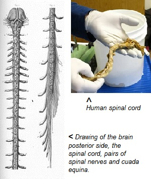 essay on spinal cord Free coursework on spinal cord injuries from essayukcom, the uk essays company for essay, dissertation and coursework writing.