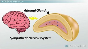 Sympathetic Nervous System Controls Adrenal Gland