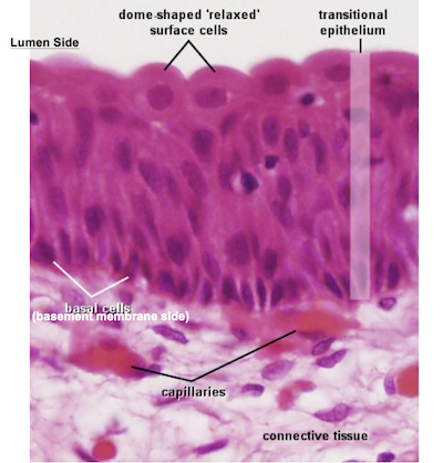 Transitional Epithelium Function Transitional Epithelium Slide