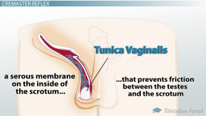Tunica Vaginalis Diagram