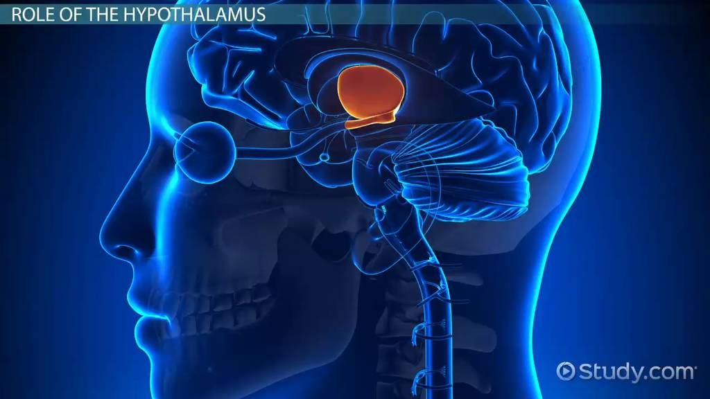Hypothalamus: Function, Role & Definition - Video & Lesson ...