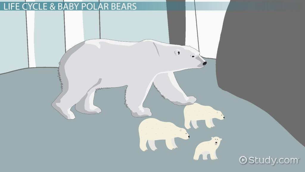 Polar Bear Life Cycle: Lesson for Kids - Video & Lesson Transcript ...