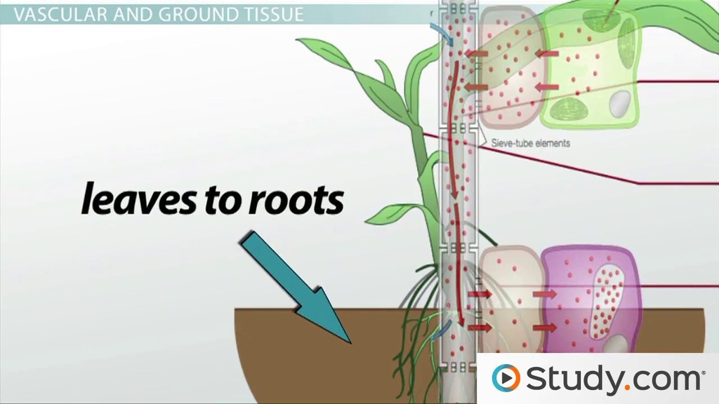 Structure of Plant Stems: Vascular and Ground Tissue - Video ...