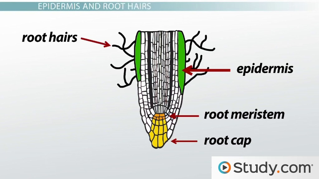Primary root tissue root hairs and the plant vascular cylinder primary root tissue root hairs and the plant vascular cylinder video lesson transcript study ccuart Images