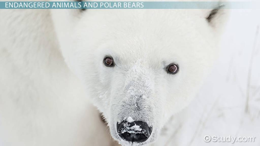 Why are Polar Bears Endangered? - Lesson for Kids - Video & Lesson ...