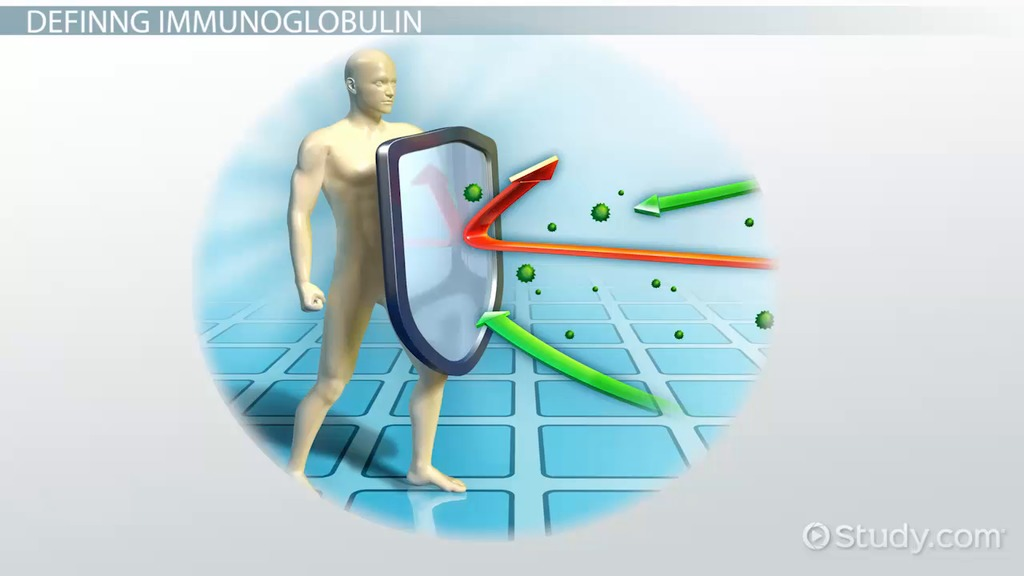 What Is Immunoglobulin E Ige Definition Function
