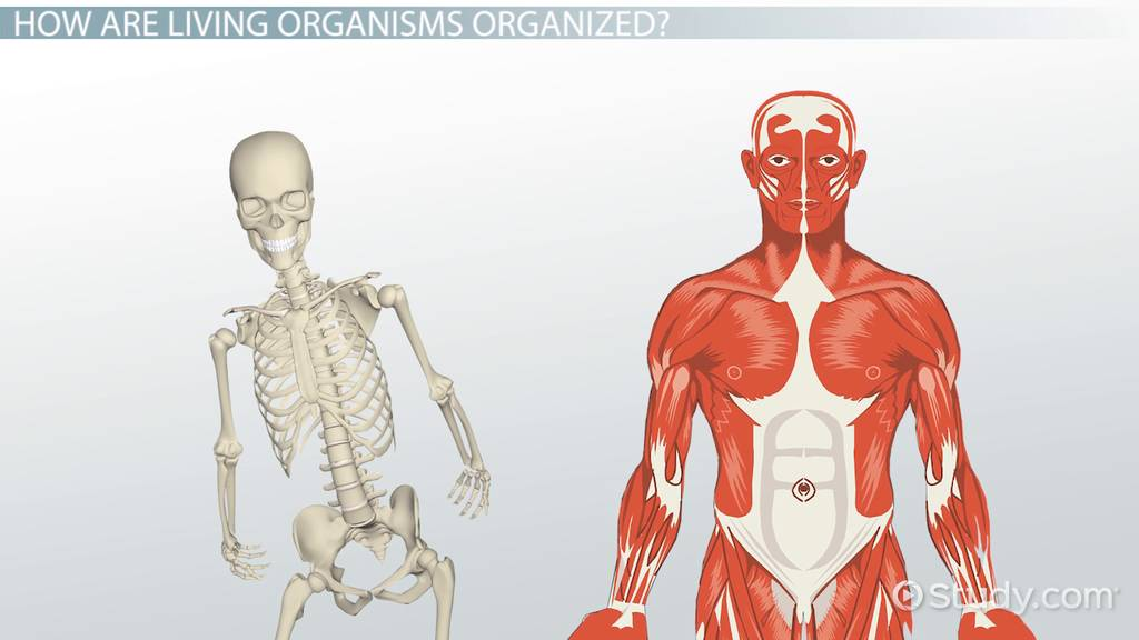 living organisms: organization, functions & structure - video, Muscles