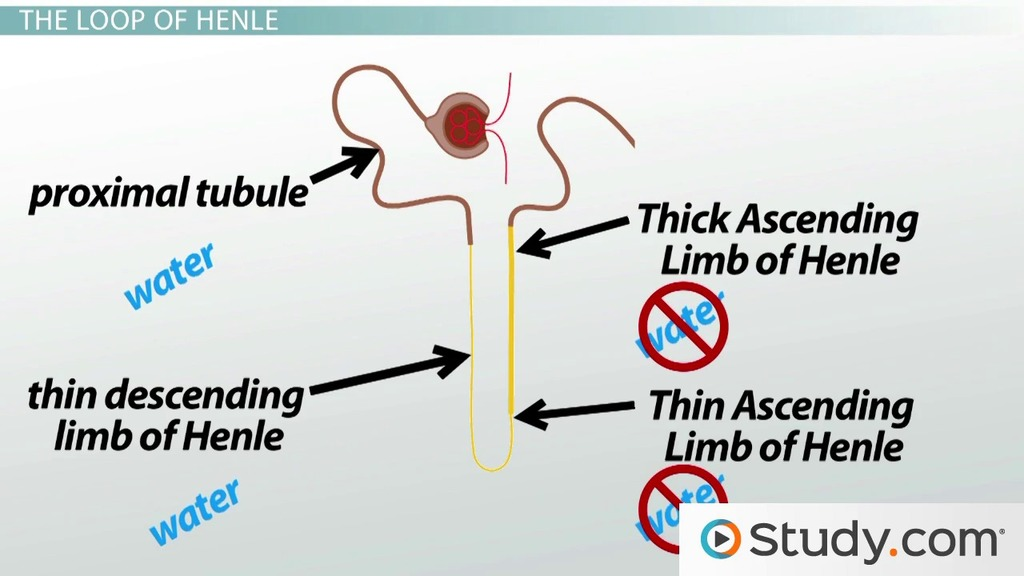 The Renal Tubule Definition Function Terms Video Lesson