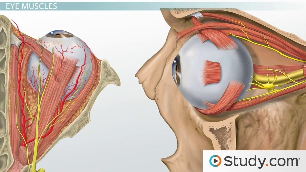 Function & Anatomy of the Muscles of the Face, Neck & Back - Video ...