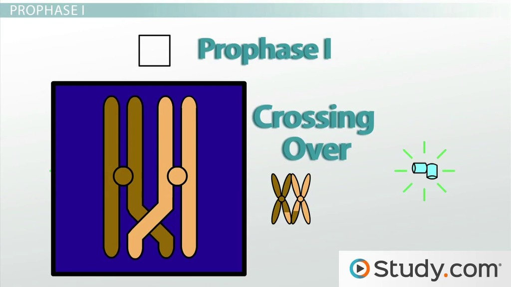 Meiosis Parison To Mitosis Crossing Over Process Video. Meiosis I Stages Prophase Metaphase Anaphase Telophase. Worksheet. Worksheet 17 Meiosis Overview At Clickcart.co