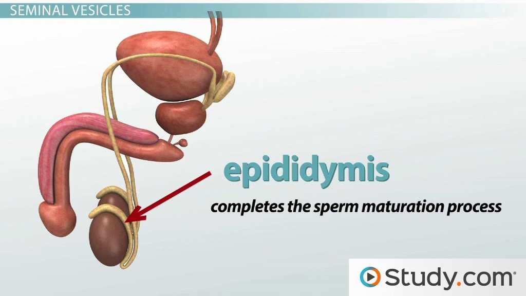 Male Reproductive System Accessory Gland Functions Video Lesson