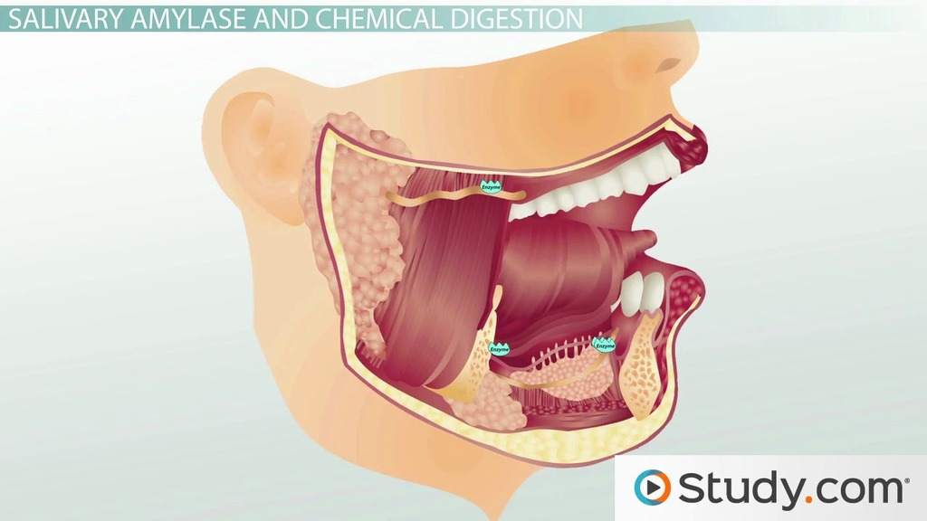 Major Structures Of The Mouth Esophagus Stomach Video Lesson
