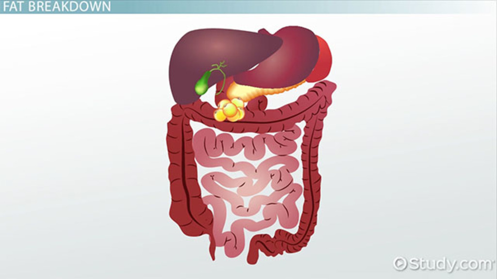 Accessory Organs of the Digestive System - Video & Lesson Transcript ...