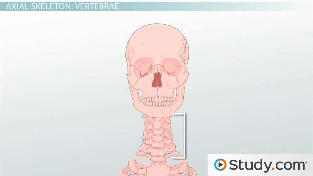 Axial Skeleton: Functions and Anatomy - Video & Lesson Transcript ...