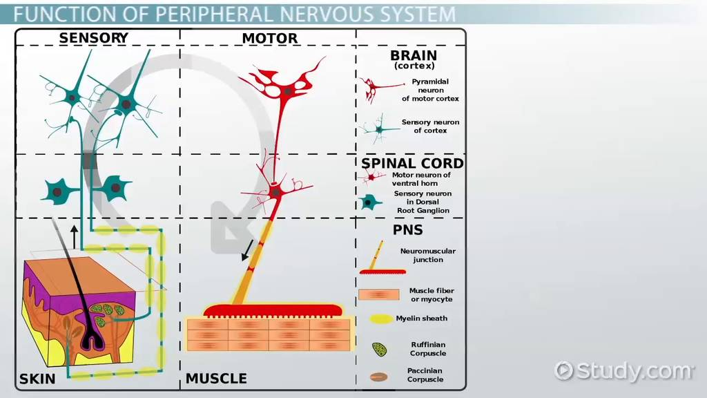 Peripheral Nervous System: Definition, Function & Parts ... | 1024 x 576 jpeg 60kB