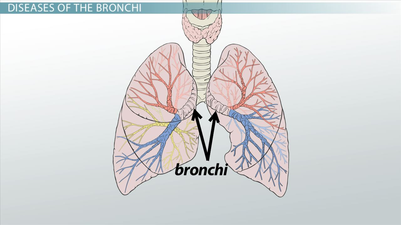 Bronchi: Anatomy, Function & Definition - Video & Lesson Transcript ...
