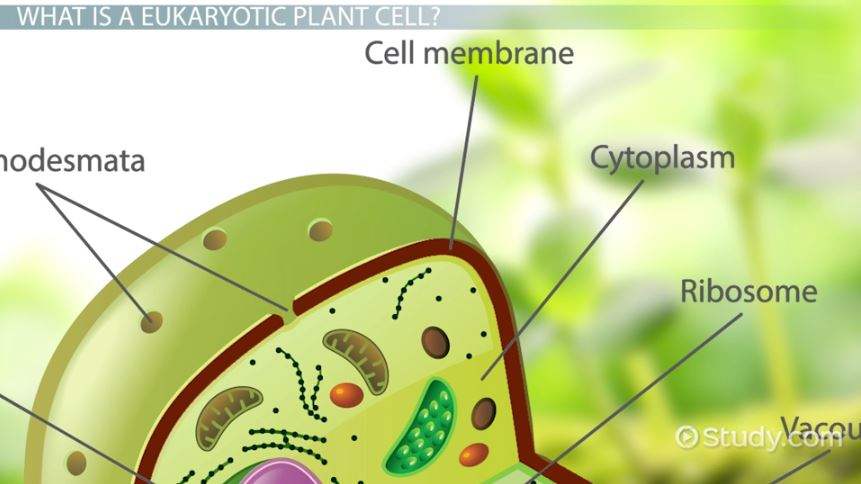 Eukaryotic Plant Cells Definition Examples Characteristics
