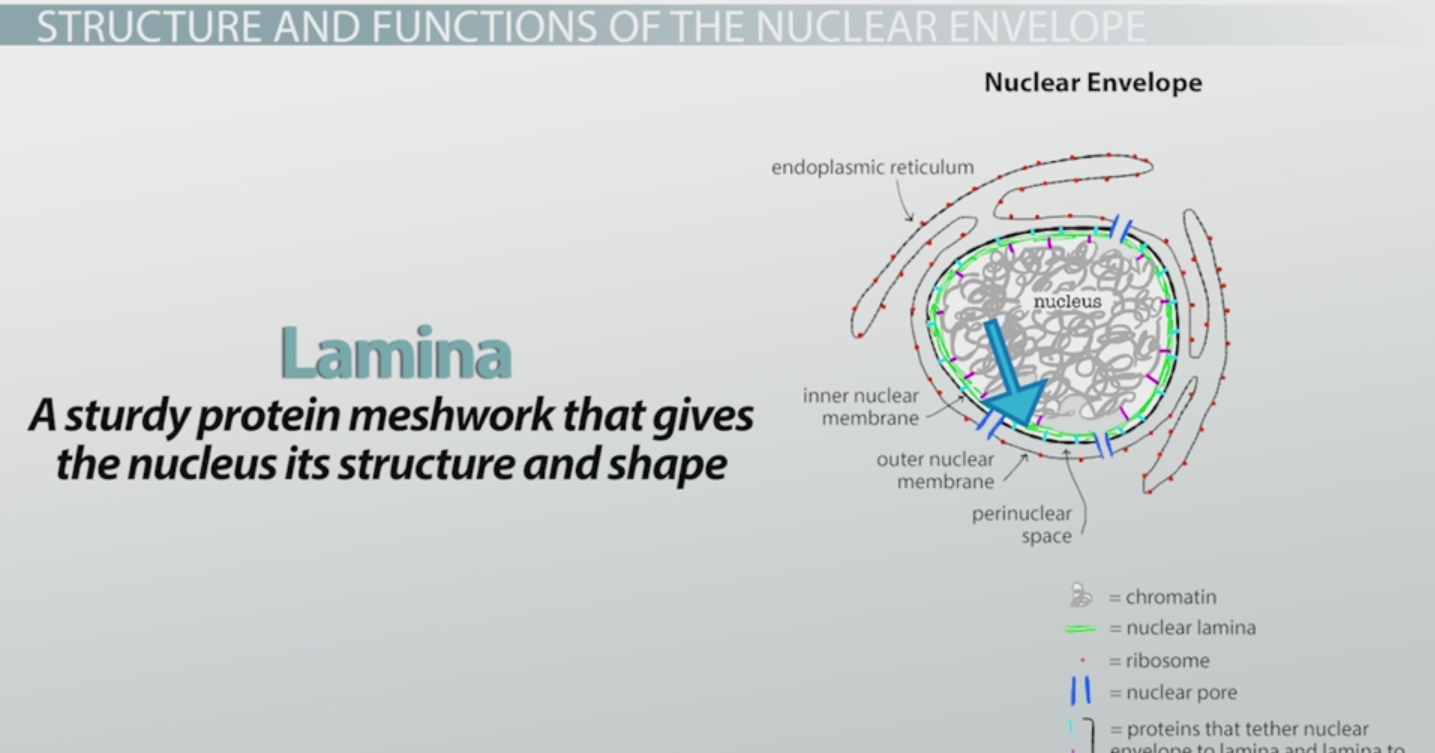 Nuclear Envelope Definition, Function& Structure Video& Lesson Transcript Study com