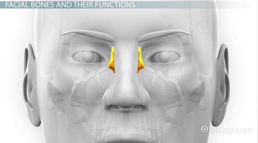 The 14 Facial Bones Anatomy Functions Video Lesson Transcript