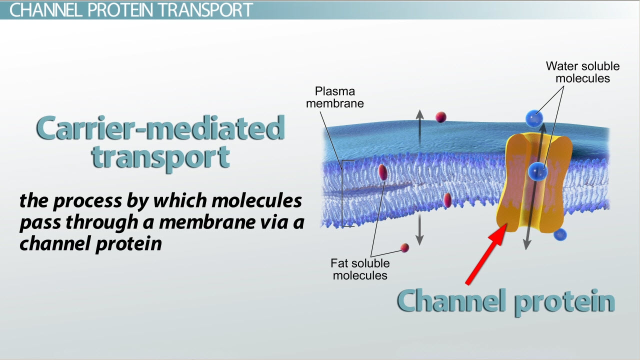 passive transport in cells simple and facilitated diffusion channel protein definition function