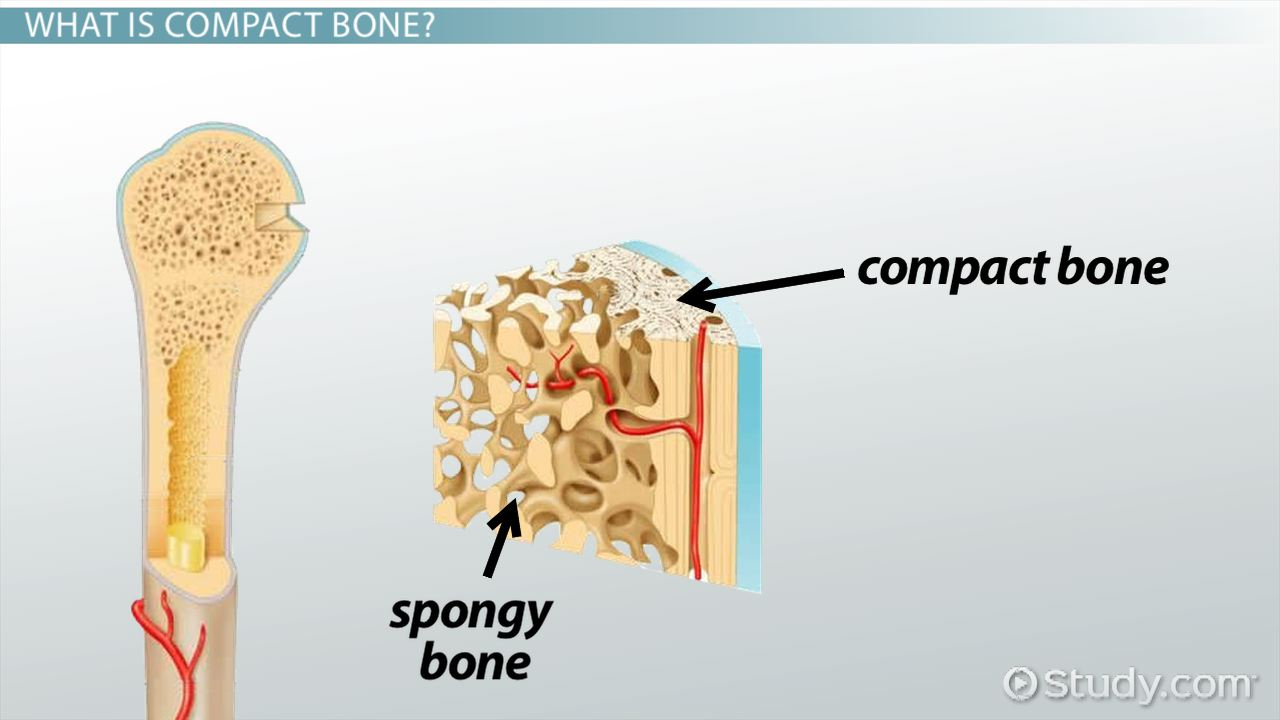 Compact Bone: Definition, Structure & Function - Video & Lesson ...