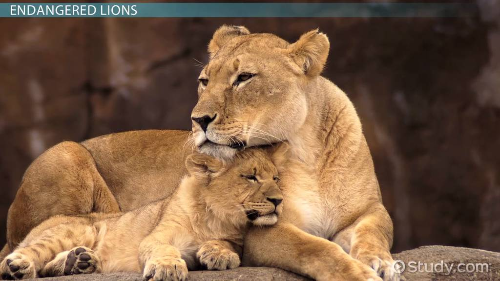 why are lions endangered  - lesson for kids