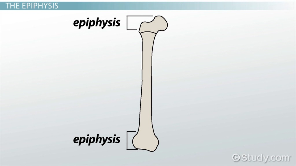 diaphysis of bone: definition & function - video & lesson, Cephalic Vein