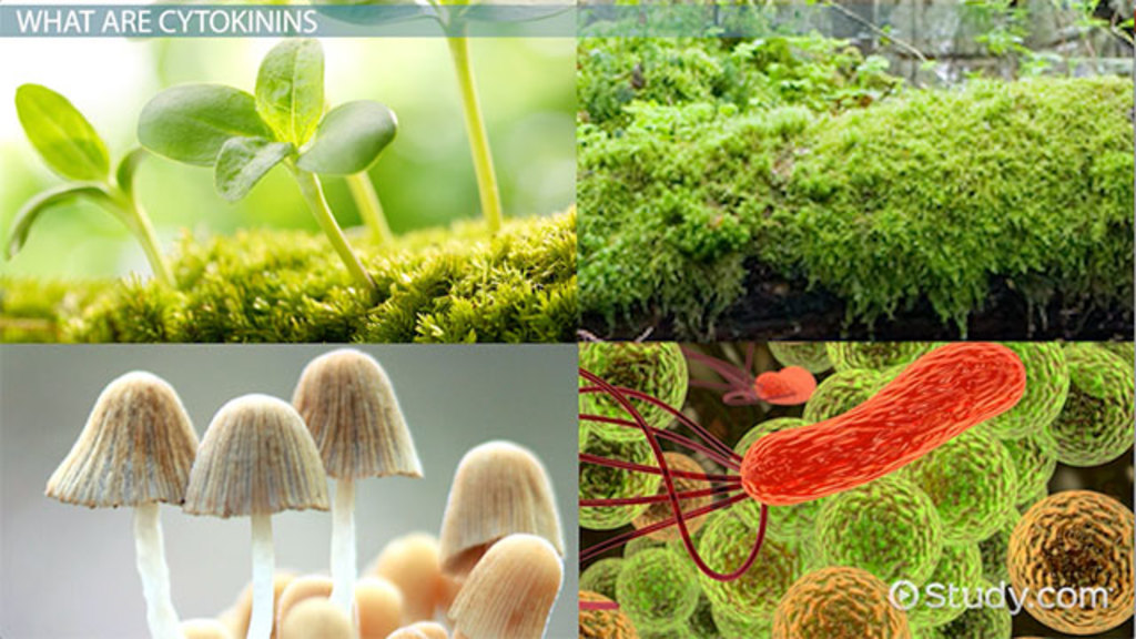Cytokinins in Plants: Function & Concept - Video & Lesson Transcript ...