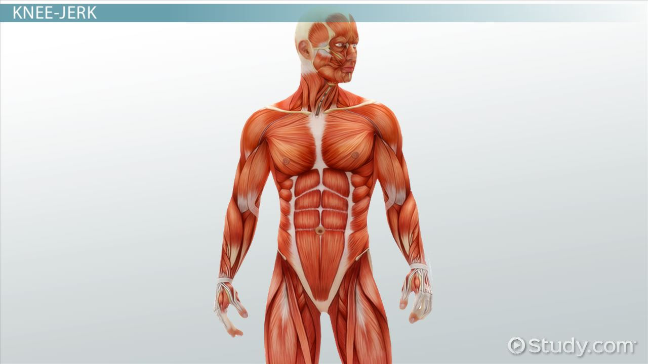 medical specialists of the muscular system - video & lesson, Muscles