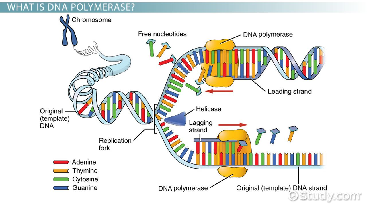 what is a template strand - dna polymerase definition function video lesson